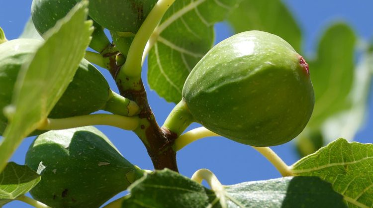 Fig Tree Care