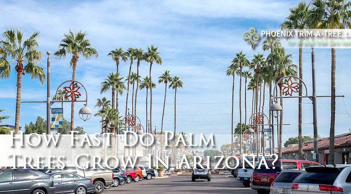 How-Fast-Do-Palm-Trees-Grow-In-Arizona