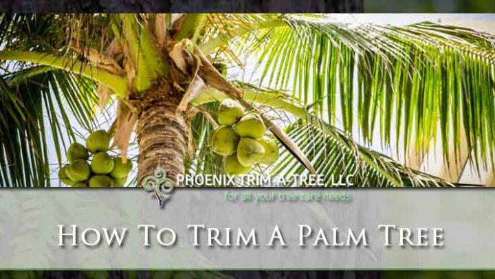 How-To-Trim-A-Palm-Tree