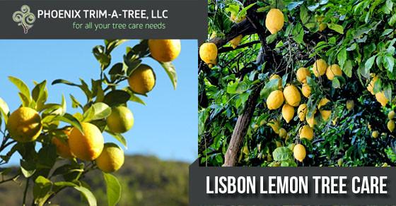 Lisbon-Lemon-Tree-Care