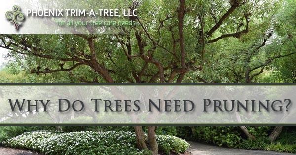 Why-Do-Trees-Need-Pruning-Phoenix-AZ