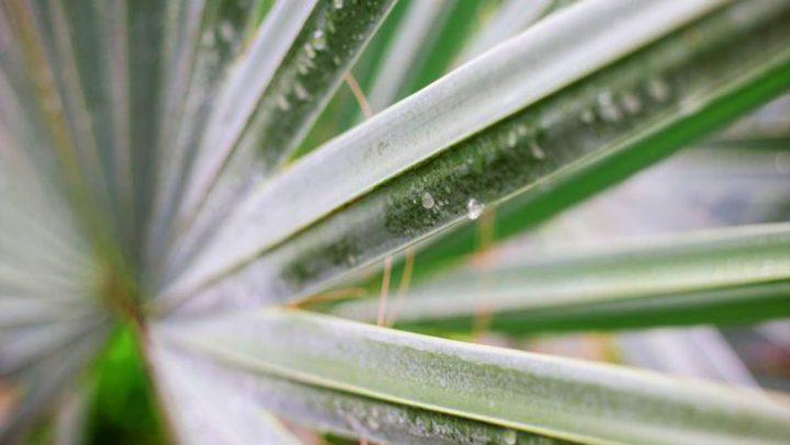Sago Palm Arizona Pruning