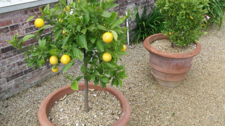 growing-lemon-trees-in-arizona